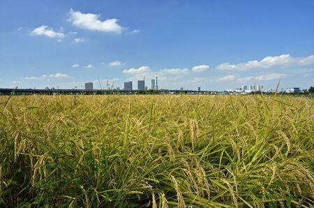 urban idyll: Minuma rice field-Kamiyamaguchishinden