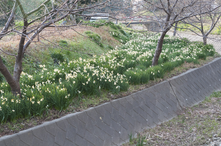 waterways: Narcissus blooming on the banks along the waterways of woodlands Stock Photo