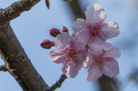 invited: Yoritomo cherry flowered by being invited to warmth