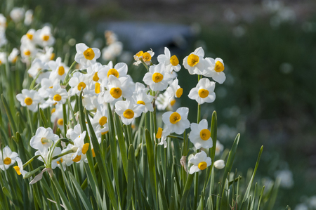 dainty: Dainty Narcisse that bloom along the road