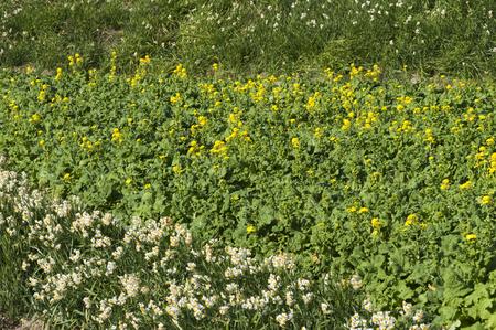 alongside: Daffodils blooming alongside the rape fields