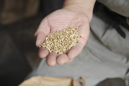 raw materials: Raw materials of barley tea
