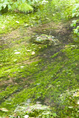 waterweed: Princess River headwaters spring