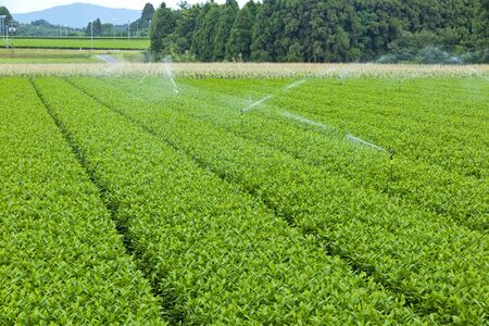 Tea plantation 版權商用圖片