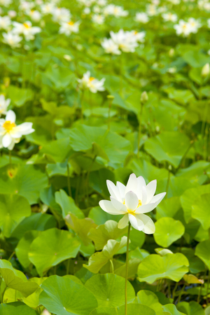 waterweed: Of the Lotus paradise Stock Photo