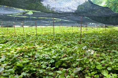 wasabi: Wasabi farm