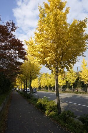 treelined: Ginkgo tree-lined street Higashioji Stock Photo