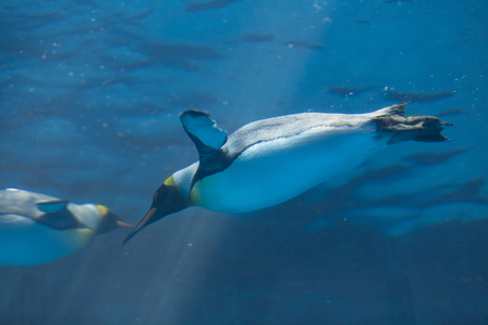 king penguins: Oh king penguins in the water Stock Photo