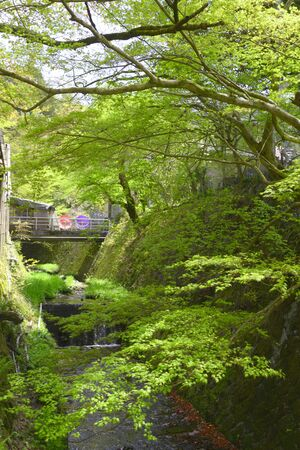 japanese maples: River and the fresh green