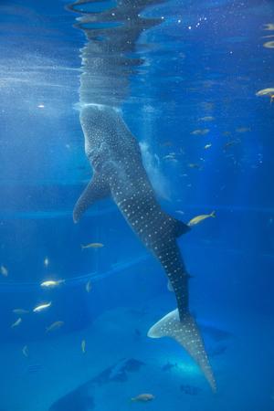 whale shark: Whale shark eat the bait Stock Photo