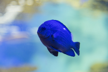 samsung: Samsung Black damselfish Stock Photo