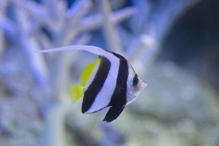 pennant: Pennant coralfish