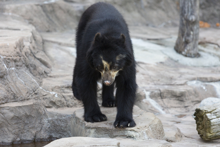 spectacled: Spectacled bear of Tennoji Zoo Stock Photo