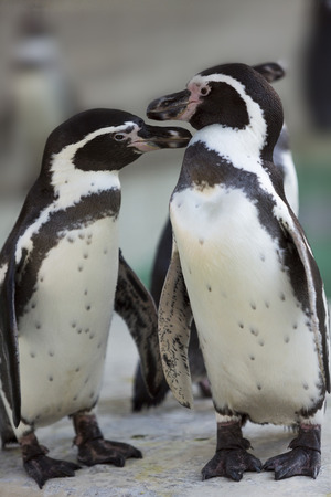 a pair of: Humboldt penguin pair Stock Photo