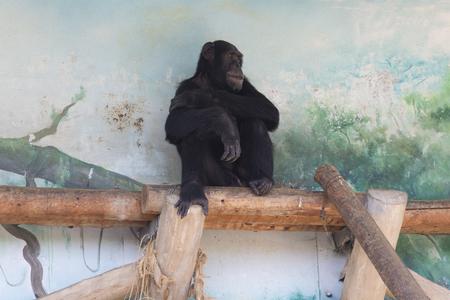 chimpances: Los chimpancés del zoológico de Tennoji
