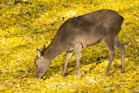 deer  spot: Deer in the ginkgo Stock Photo