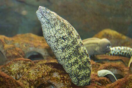 toughness: Moray eel