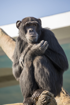 chimpanzee: Chimpanzee on the tree Stock Photo