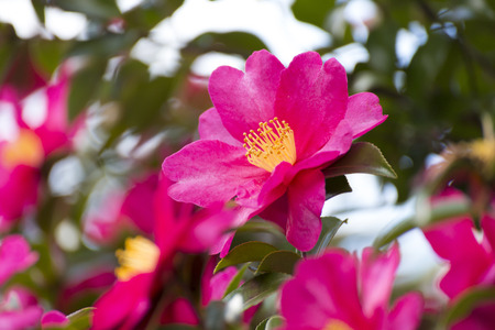 Camellia sasanqua flower Stock Photo