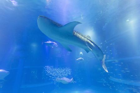 whale shark: Aquarium whale shark Stock Photo