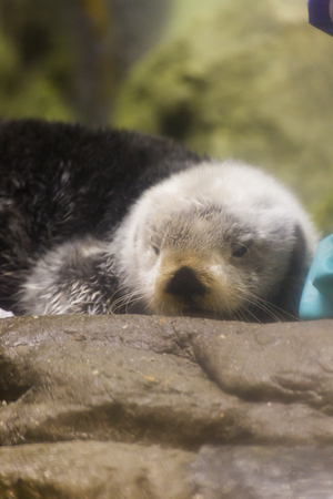 sea otter: Sea otter to snuggle up to keeper Stock Photo