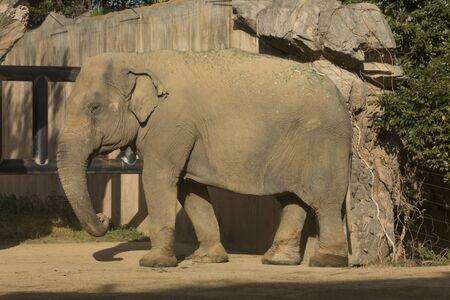 living organisms: Asian elephant