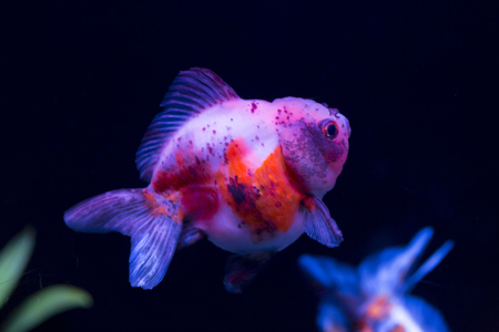 kin: Lion head goldfish