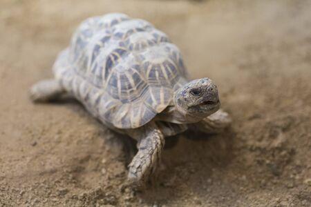 Indian star tortoise 版權商用圖片