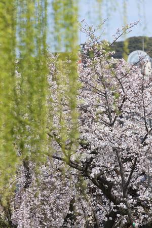 shirakawa: Gion Shirakawa of cherry and willow