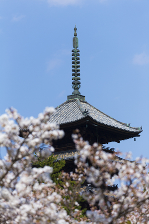 ninnaji: Ninna-ji Temple five-story pagoda and Omurosakura