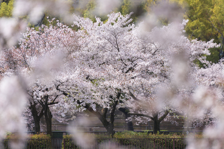 bloom: Cherry blossoms in full bloom