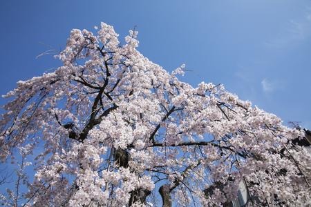 shirakawa: Shirakawa Gion weeping cherry tree