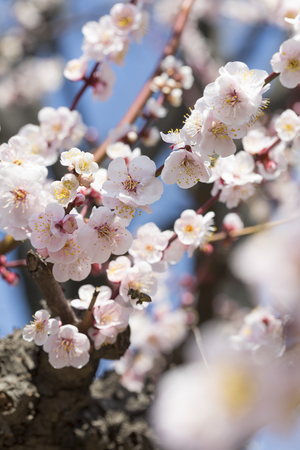full      bloom: Full bloom of plum