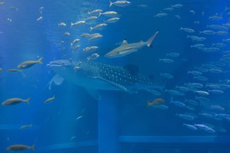 whale shark: Whale shark and blacktip reef shark Stock Photo