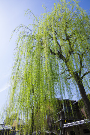 osier: Gion Shirakawa of willow