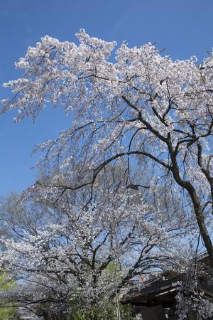 shirakawa: Gion Shirakawa of Sakura Stock Photo