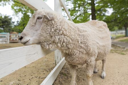 rancho: Sheep Ranch