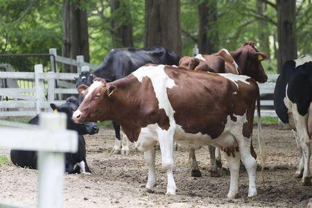 rancho: Rancho de ganado lechero