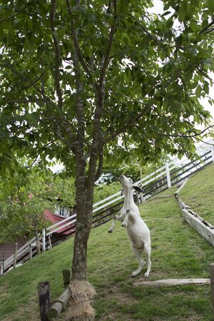 stood up: Goats that eat the leaves of the trees stood up