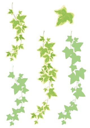 houseplants: Houseplants: decoration - Hedera