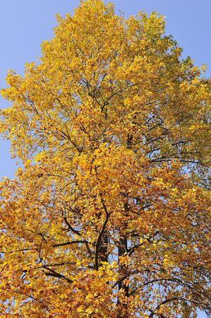 sicomoro: Foglie gialle di sicomoro