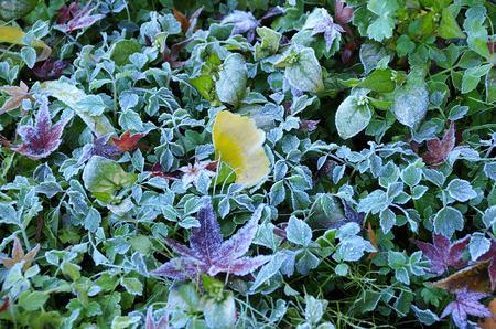 defoliation: Defoliation pattern of first frost Stock Photo