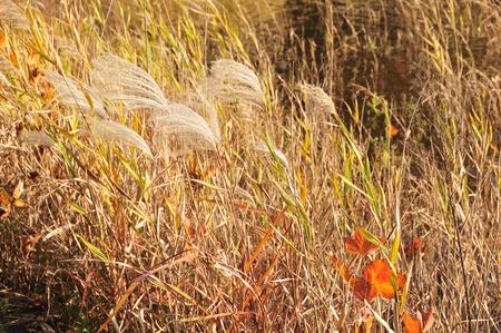 pampas: Japanese pampas grass of late autumn Stock Photo