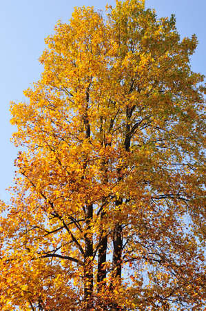 sycamore: Yellow leaves of sycamore Stock Photo