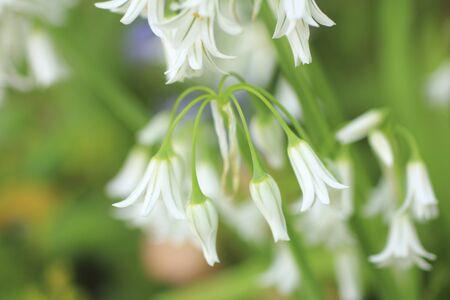 allium: Allium