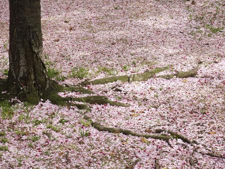 disperse: Cherry blossom petals Stock Photo