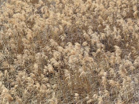 diluted: Japanese pampas grass of Yodogawa