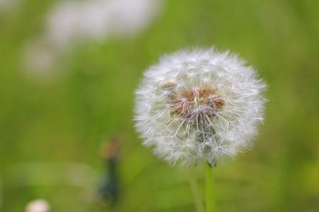 four species: Dandelion fluff Stock Photo