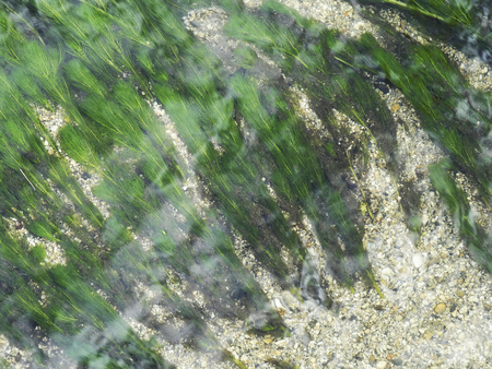 waterweed: Ogawa waterweed Stock Photo