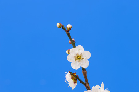 white blossom: White plum